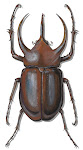 Tropical Rhinoceros Beetle