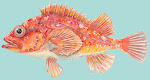 Rosy Rockfish from Monterey Bay