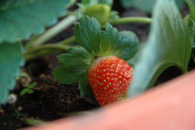 תות שדה באדנית ביתית, צילום: ליאור כרמון