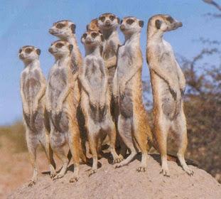 http://4.bp.blogspot.com/_2O_wsp9GXRE/RrVP9hJ6sLI/AAAAAAAAAWQ/siTC8xfsIqQ/s320/suricatos4.jpg