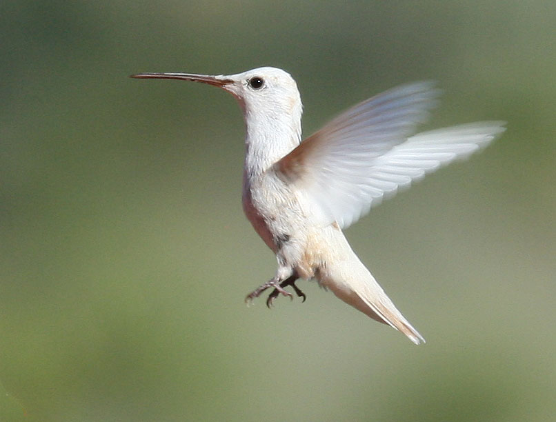 CHRISTMAS MOUNTAINS OASIS: Albino (leucistic) hummingbird ...