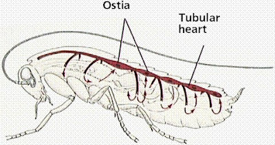 Chapter 1 transport the open circulatory system is common to molluscs and arthropods open circulatory systems evolved in crustaceans insects mollusks and other ccuart Gallery