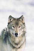 Austin en forma de lobo.