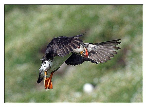 Ee Papageientaucher, een vun den Symboler vun Valentia Coast