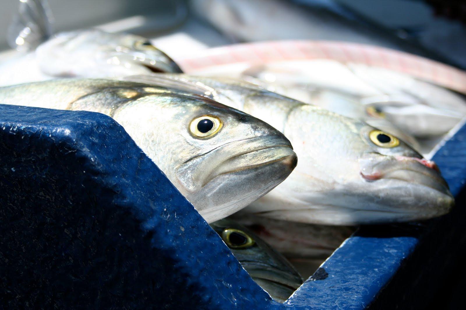 Redredorange for Blue fin fish
