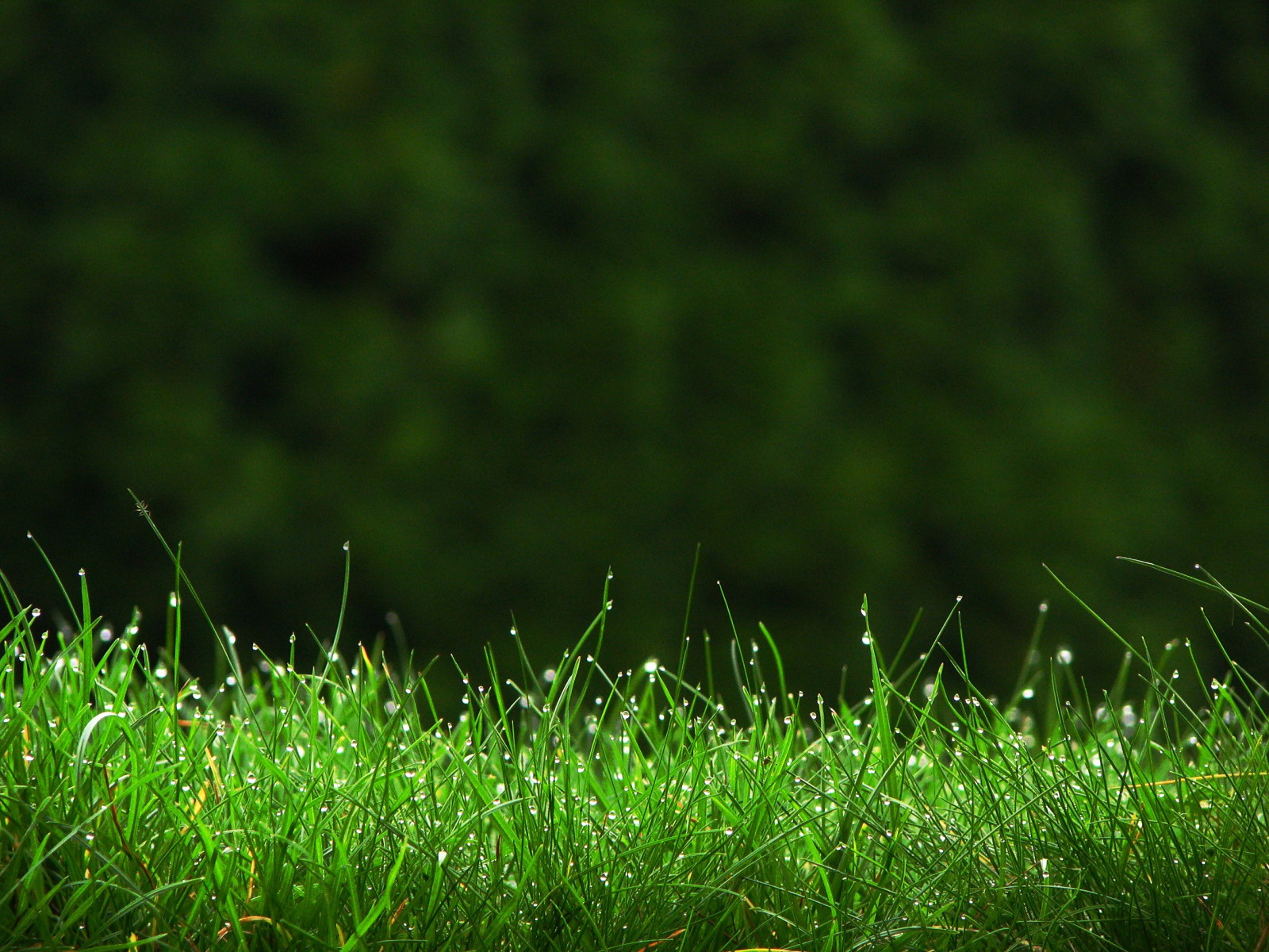 Natural Grass Wallpaper Beautiful Green Morning Grass