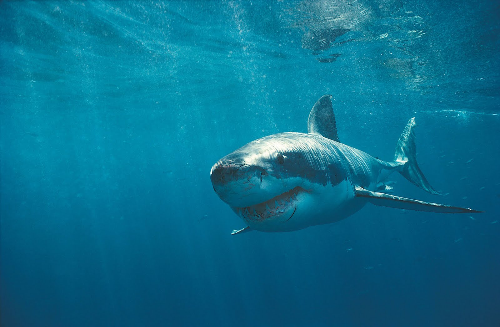 Wallpapers Box: The Great White Shark Hi-Def Wallpapers