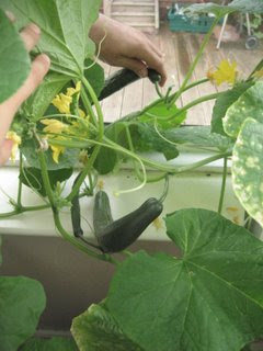 Homegrown Cucumbers in my conservatory by Ng @ Whats for Dinner?