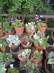 Some of my Auricula Collection