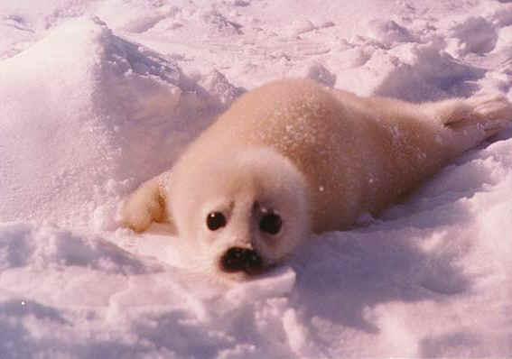 Harp Seals- Secondary Consumer