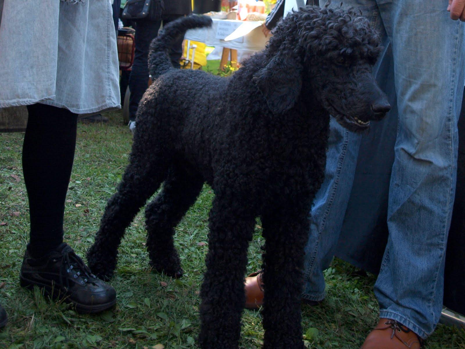 Marwin poodle