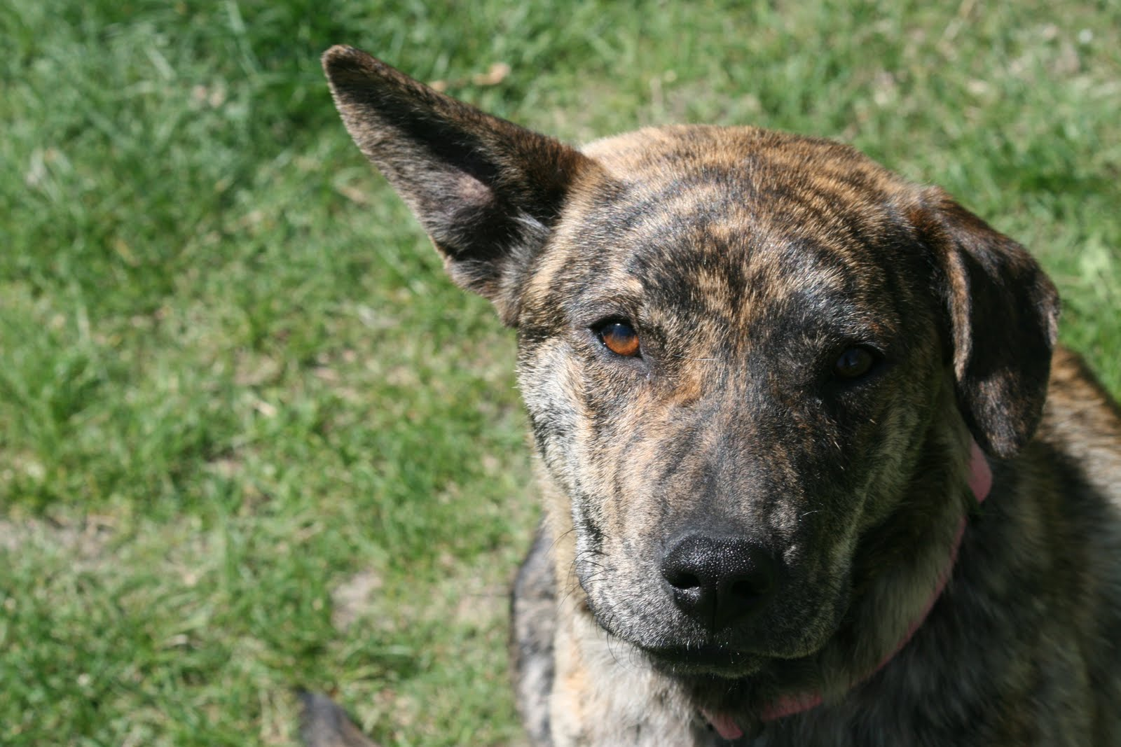 This is Tiger. She has the most amazing brindle coat I've ever seen.