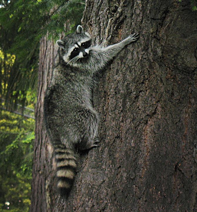 Shoreline Area News Shoreline Area Wildlife Raccoons