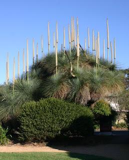Toowoomba Plants The Vets\u0027 Grasstree