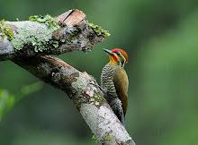 Pica-pau Dourado uma das espécies ameaçadas de extinção