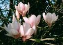 Drømmer om en Magnolia i min hage