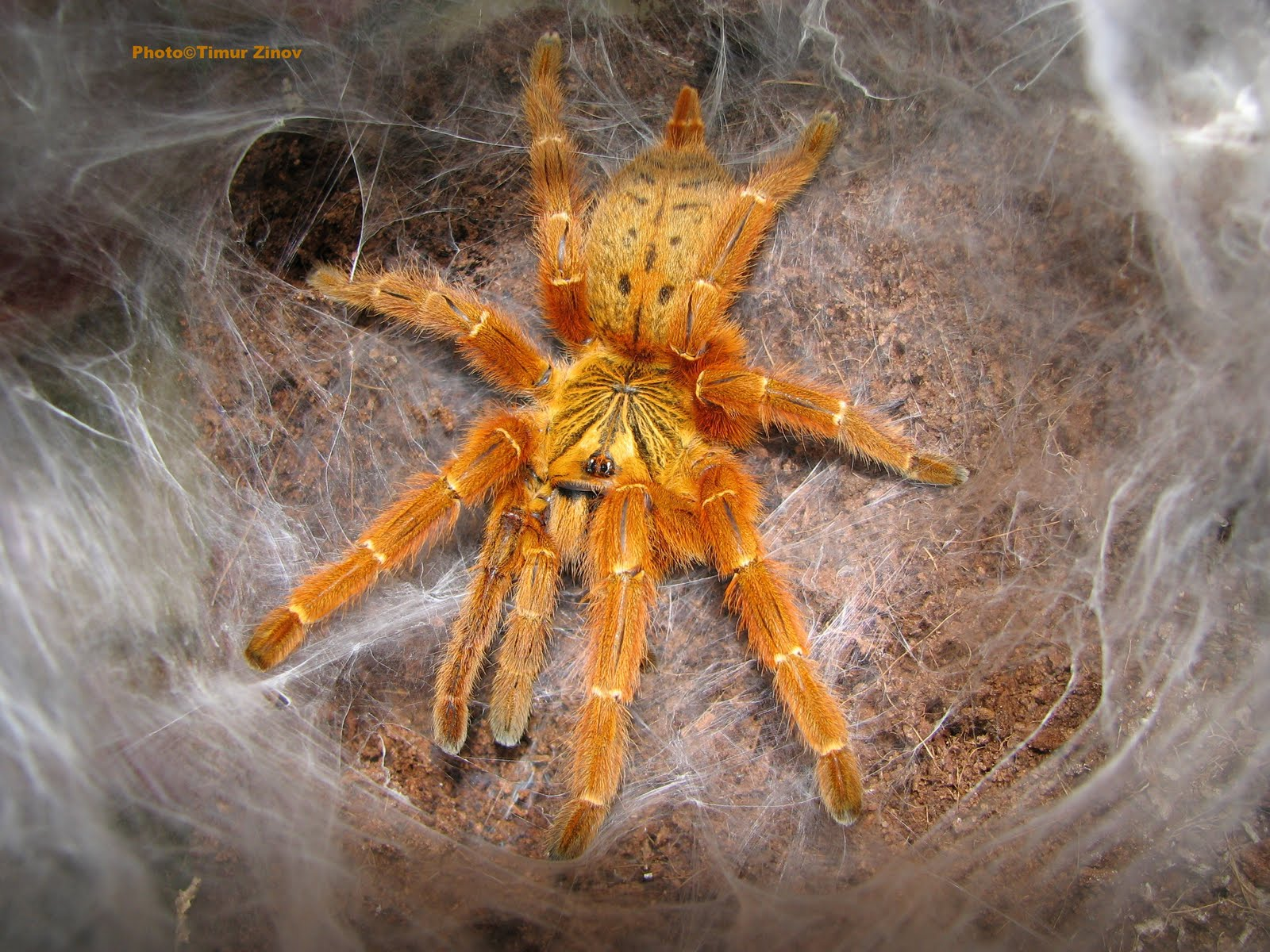 About The Spiders Pterinochilus