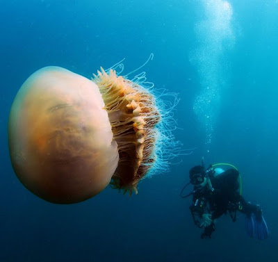 jellyfish,obor gergasi