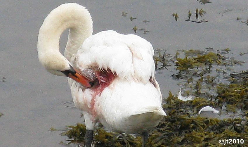 Simply Superb Swans Nairn Swans Blog 2010 Review
