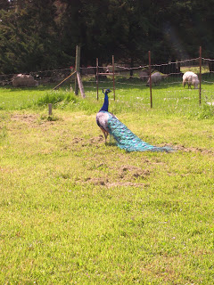 Angus The Peacock walking in the field looking for chicks