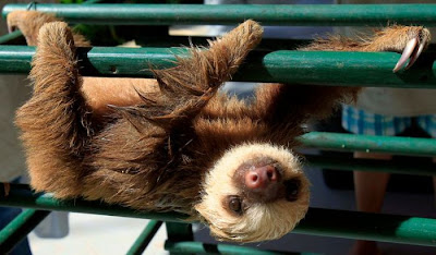 Cute Baby Sloth Seen On www.coolpicturegallery.net