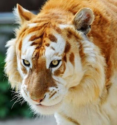 Unusual Golden Tabby Tiger Seen On www.coolpicturegallery.us