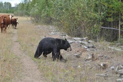 Bear vs. Cows Seen On www.coolpicturegallery.net