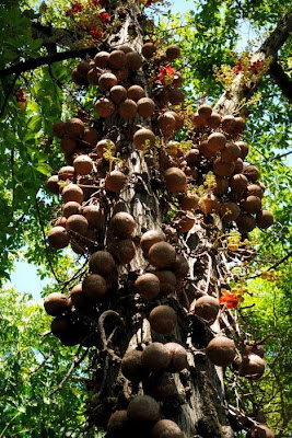 Weird Cannonball Tree Seen On www.coolpicturegallery.us