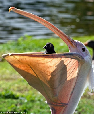 Pelican Swallows A Pigeon In London Park Seen On  www.coolpicturegallery.us