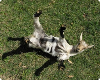 Fainting Goat Seen On www.coolpicturegallery.us