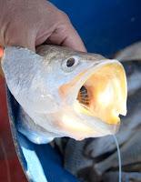 Peixes sofrem menos?