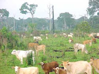 A Amazônia está sendo comida por quem se alimenta de carne