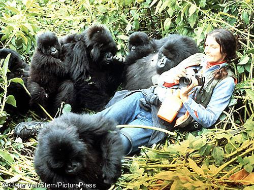 Animalaradio gorilas en la niebla una historia real for Gorilas en la niebla