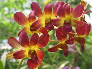 Foto Bunga Anggrek Mekar di Taman
