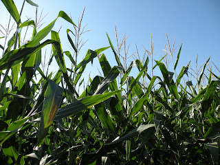 Sunlight in the corn