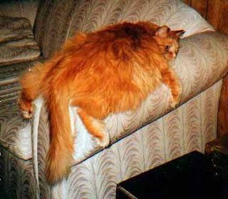 gato gordo en sofá
