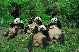 osos panda comiendo