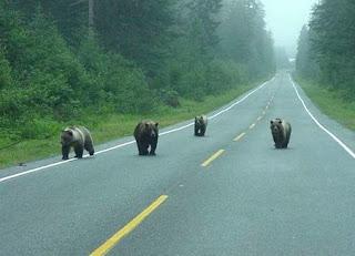 osos en carretera