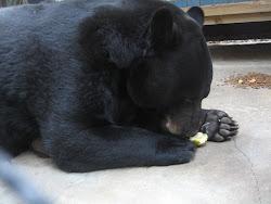Black Bear Eating a Grapefruit