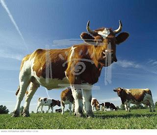 Sistem+pembiakan+lembu+betina