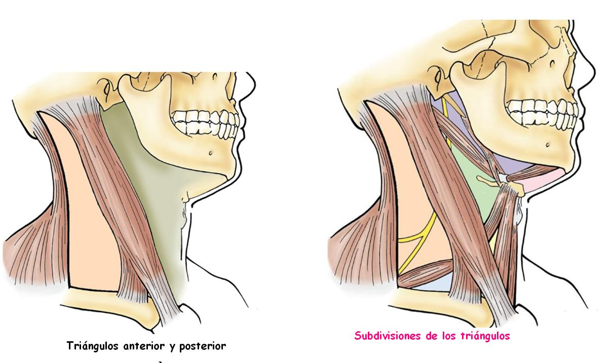 Anatomía UNAM: Triángulos del Cuello