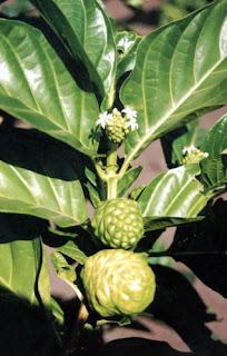 Árbol del Noni, célebre por sus propiedades curativas y nutritivas