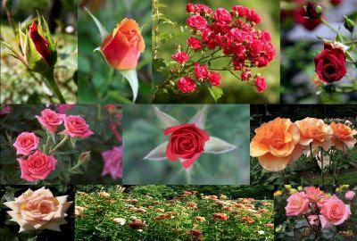 Quali sono i vostri fiori o piante preferite? Roseto