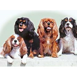 Cavalier King Charles Spaniel All Colors