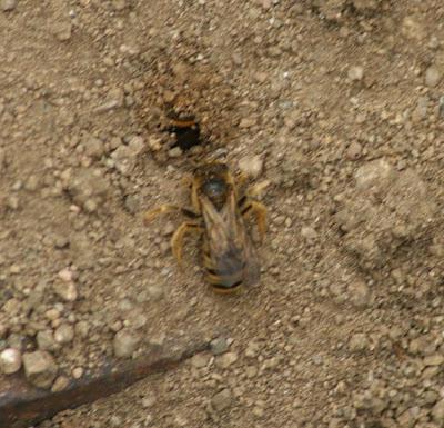 Notas de campo y jard n abejas alba ilas 5 abejas for Ahuyentar abejas jardin