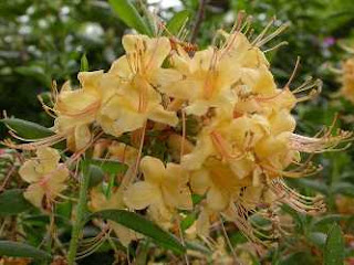 Rhododendron My Mary: Fragrant Yellow Azalea