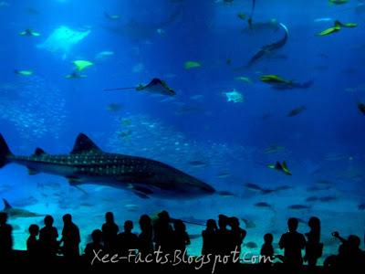 whale shark attack. whale shark attack. by a shark