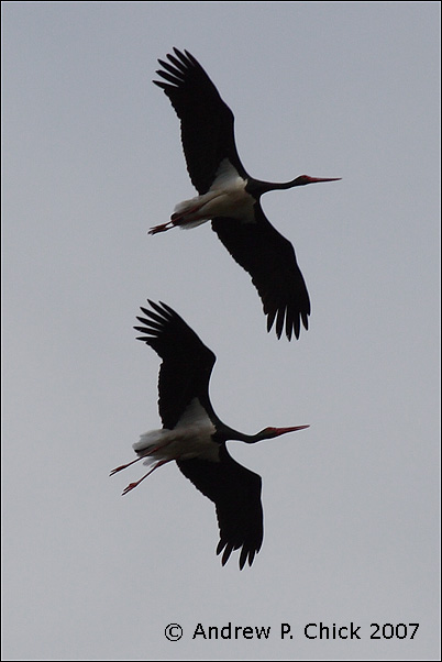 Spanish birds