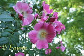 Rose No. 168