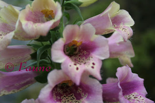 Foxglove blooms